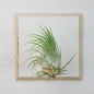 Preview: Airplant ionantha