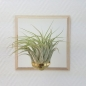 "Preview: airplant ""kolbii"""