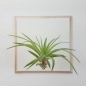 "Preview: airplant ""velutina"""