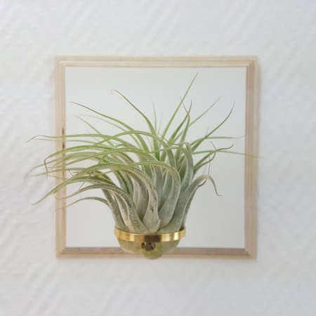 "airplant ""kolbii"""